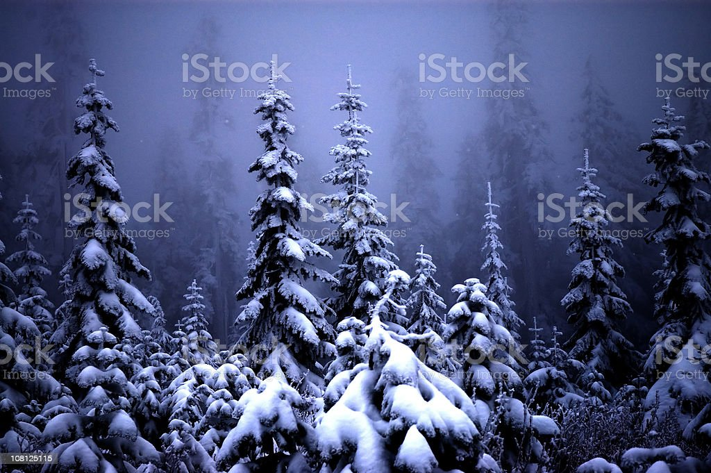Fog and Snow Covering Pine Trees in Forest royalty-free stock photo
