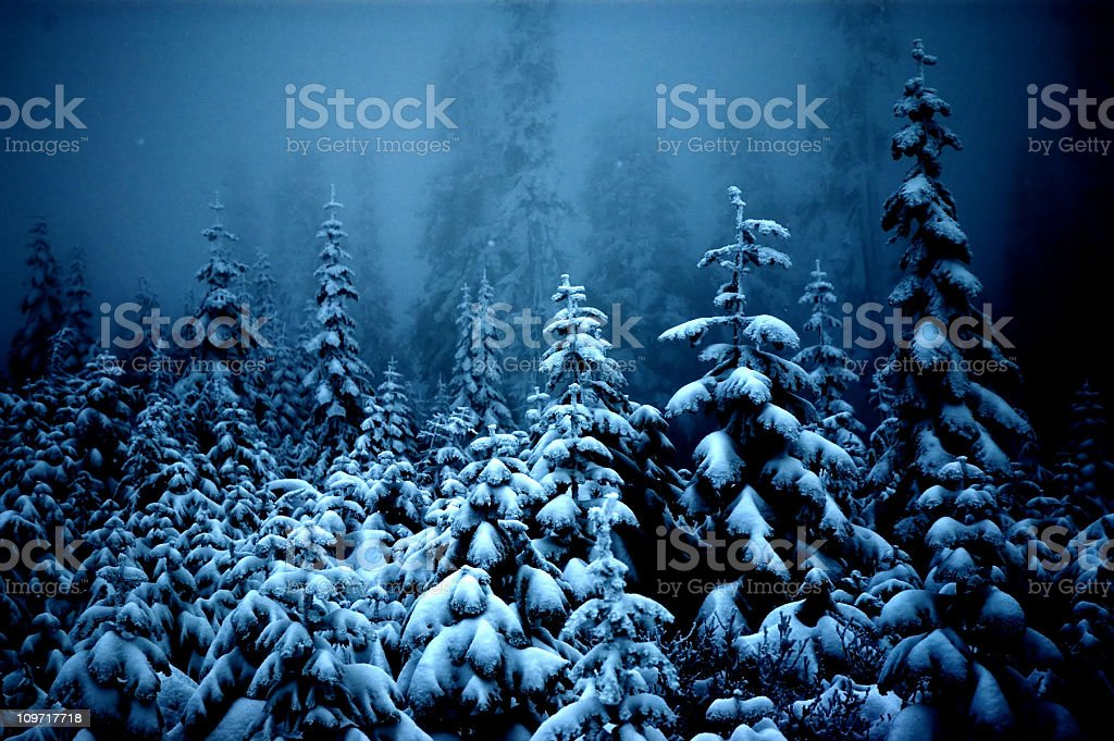 Fog and Snow Covering Pine Trees in Forest stock photo