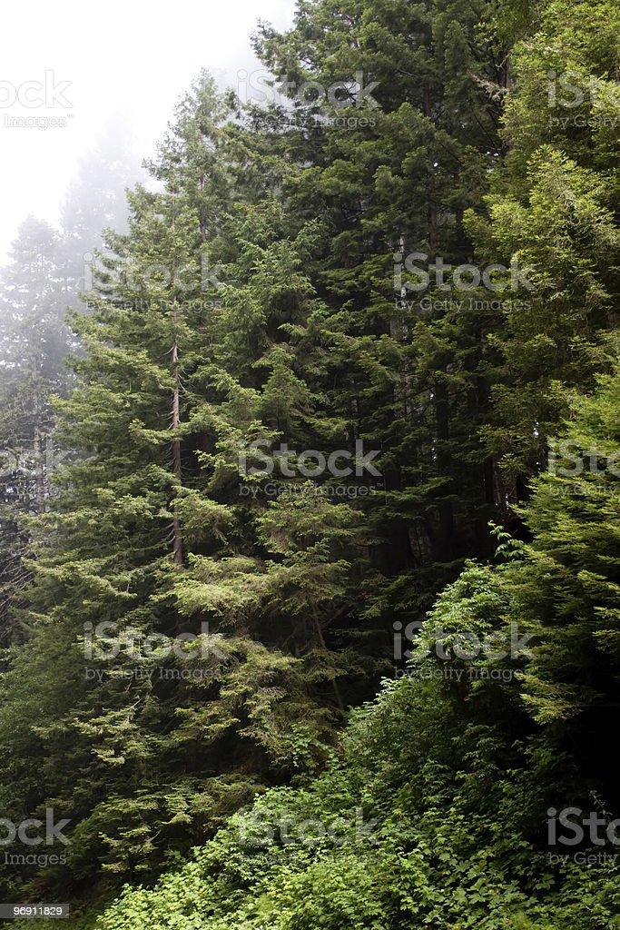 Fog around redwood trees royalty-free stock photo