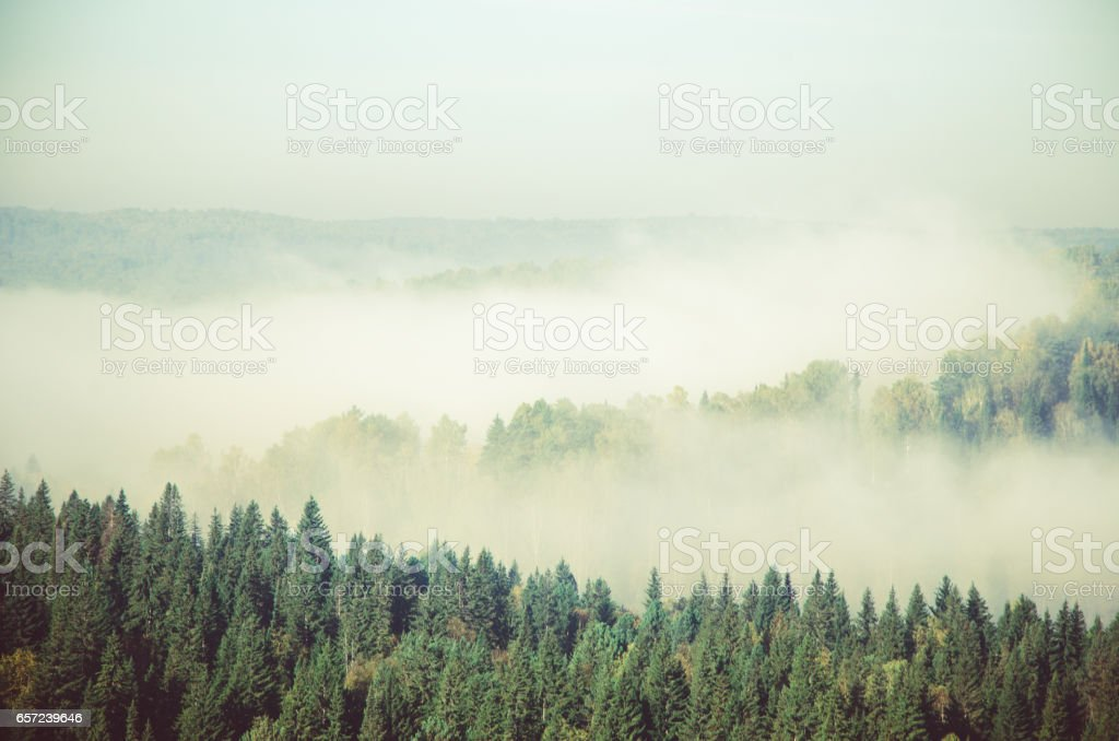 fog covered with thick coniferous forest. stock photo