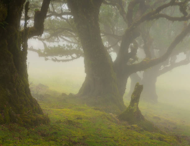 Fog Forest Fanal on the Island Madeira In the north of the island Madeira on the mountain hills are growing the beautiful Laurasilva trees, this trees are very old and covered with mosses. Many times this forest is covered in mist. ilha da madeira stock pictures, royalty-free photos & images