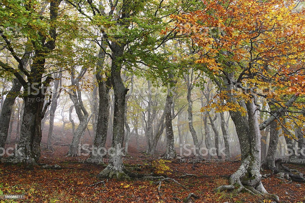 Fog in autumn beech forest. Crimea, Ukraine. royalty-free stock photo