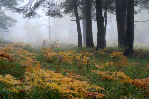 fog in autumn morning forest