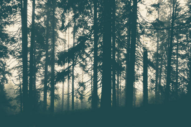Fog in pine forest. stock photo