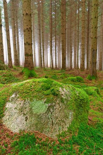 Damaged Spruce Woods