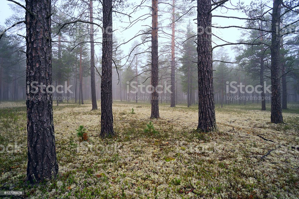 Fog in the pine forest stock photo