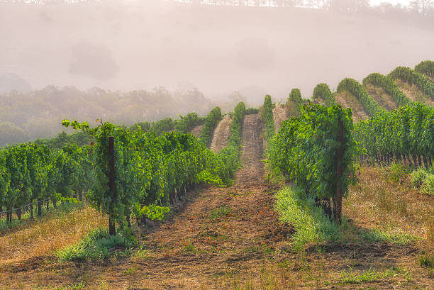 Fog in the vineyards of Napa Valley Napa Valley vineyards on a foggy morning in the summer sonoma stock pictures, royalty-free photos & images