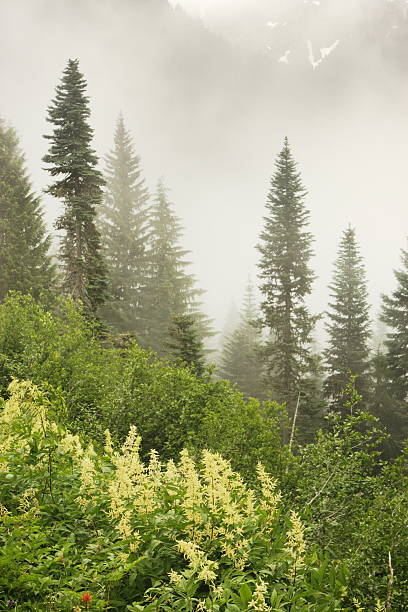 Fog Mountain Pass Wilderness Forest High mountain pass in dense fog peeks through briefly as viewed from hiking trail in beautiful forest setting 2000' below.  Olympic National Park, Washington, 2008. high seat stock pictures, royalty-free photos & images