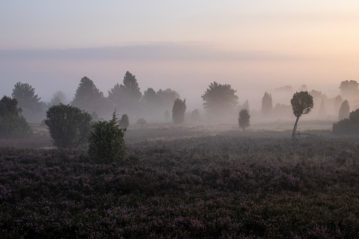 Fog over beautiful flowering heath landscape at sunrise