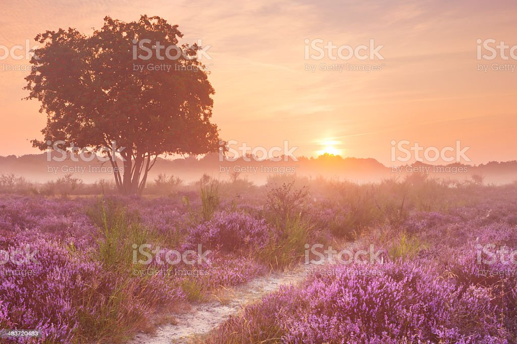 Fog over blooming heather near Hilversum, The Netherlands at sunrise stock photo