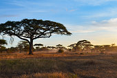 Fog rolls in among the acacia trees of of Serengeti National Park at dawn in Tanzania, Africa; landscape image with copy space