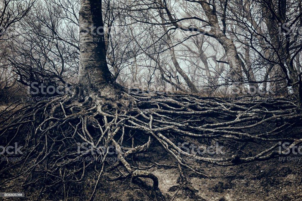Brouillard enveloppée de l'arbre avec ses racines découvert au Danemark de Møns Klint. - Photo