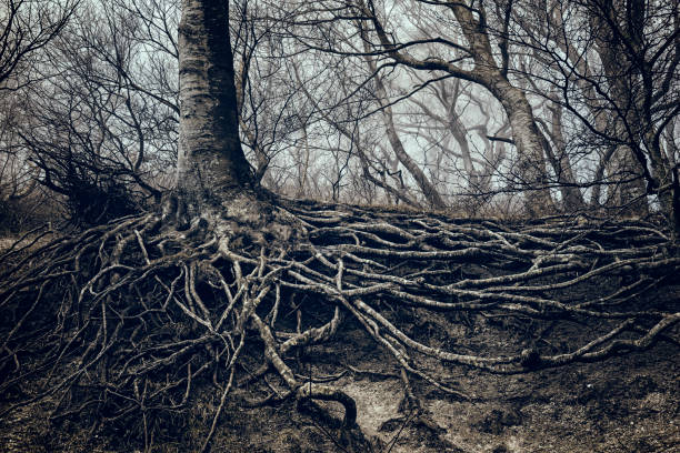 fog shrouded tree with it's roots uncovered at møns klint denmark. - tree roots stock pictures, royalty-free photos & images