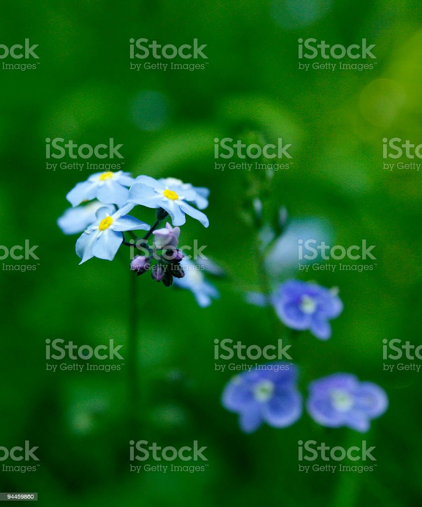 Foget-me-not and Speedwell royalty-free stock photo