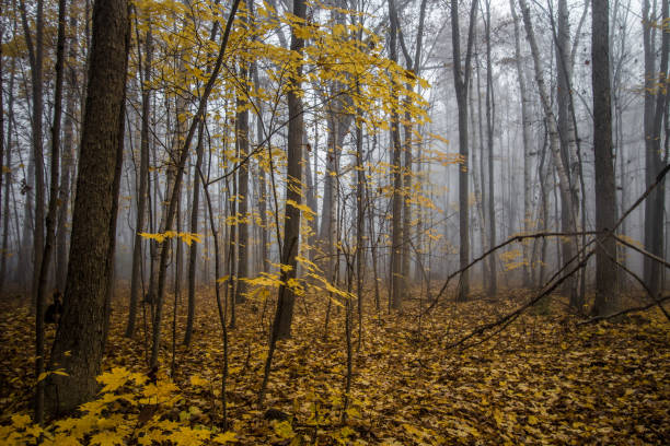 Foggy Autumn Forest In Northern Michigan stock photo
