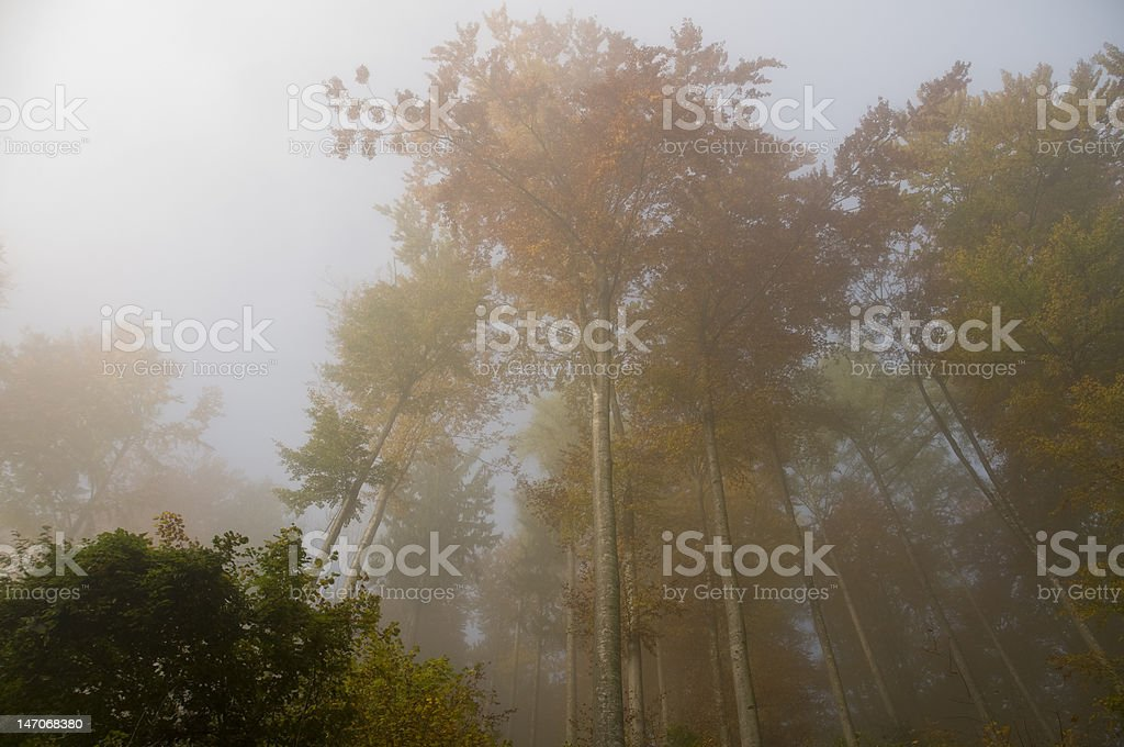Foggy Autumn  Forest royalty-free stock photo