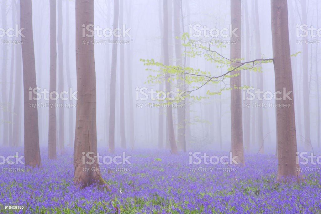 Foggy blooming bluebell forest of Hallerbos in Belgium stock photo