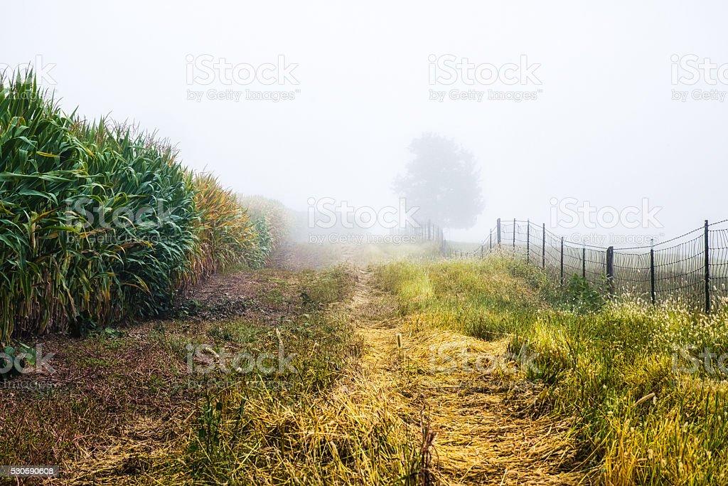 Foggy Cornfield stock photo