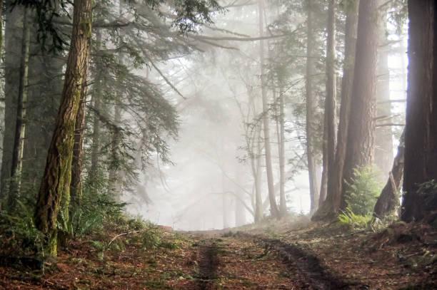 Foggy Forest of Bolinas Ridge. stock photo
