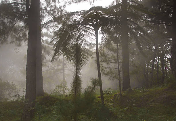 foggy forest - baguio city stock photos and pictures