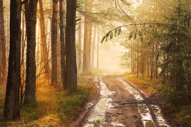 Foggy Forest Road after the Rain stock photo