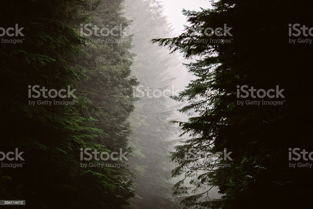 Foggy Forest Trees stock photo