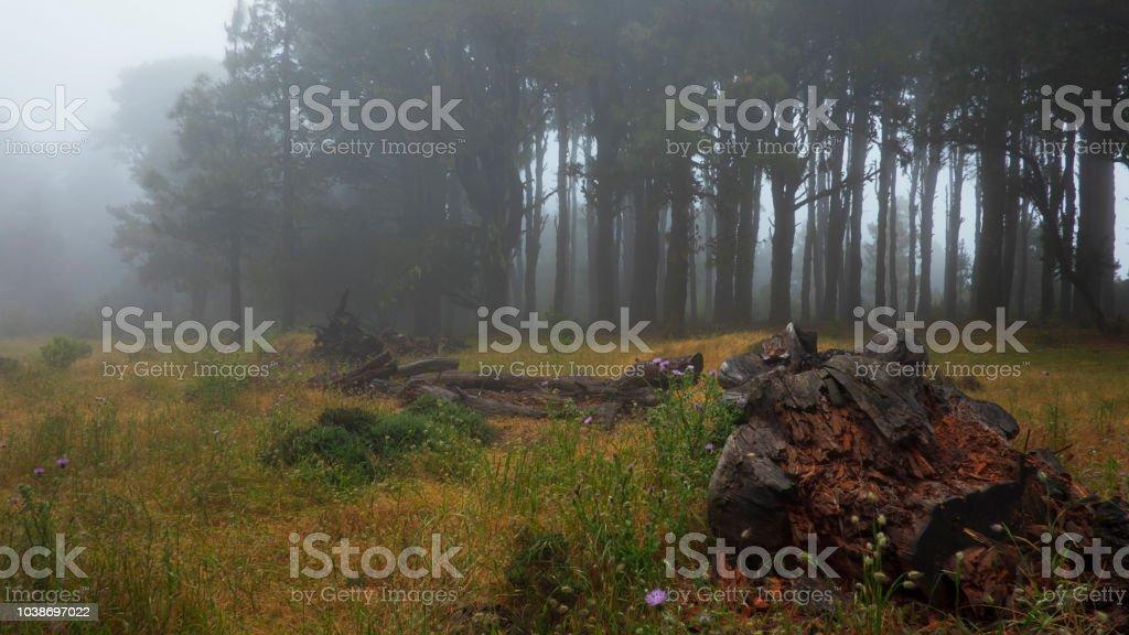 Bosque brumoso, fantasmal, con árboles de creepy, oscuros - foto de stock