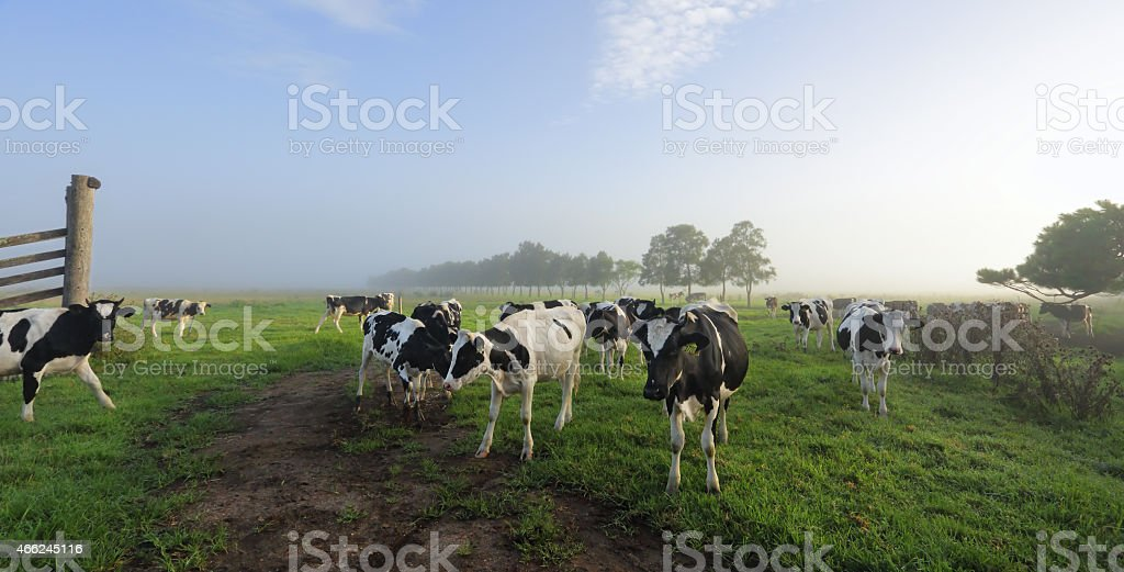 Foggy morning Brundee dairy pastures stock photo