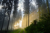 Foggy morning in a spruce forest with strong sunbeams in autumn.\nA forest track leads to the background. Image taken near the town of Bad Berleburg, Germany.