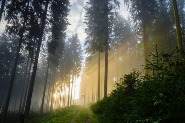 Foggy morning in a spruce forest with strong sunbeams in autumn. Foggy morning in a spruce forest with strong sunbeams in autumn. A forest track leads to the background. Image taken near the town of Bad Berleburg, Germany. hope concept stock pictures, royalty-free photos & images