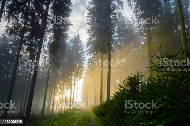 Photo of Foggy morning in a spruce forest with strong sunbeams in autumn.