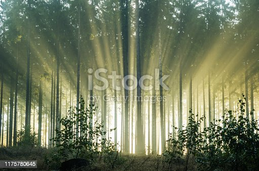 istock Foggy morning in a spruce forest with strong sunbeams 1175780645