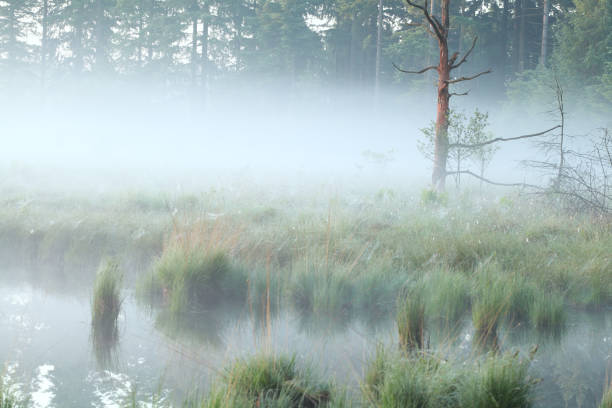 foggy morning on swamp in summer stock photo