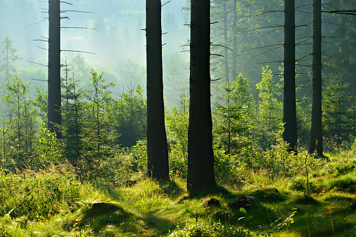 Foggy Natural Forest of Spruce Tree in the Warm Light of the Rising Sun