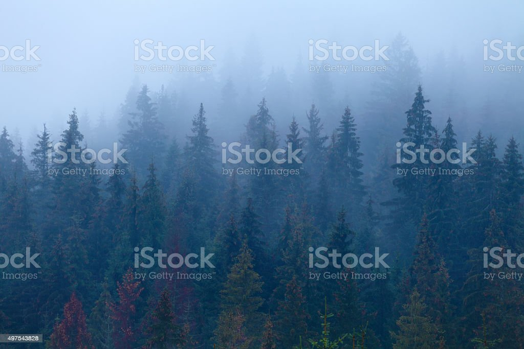 Foggy pine trees on mountain slope stock photo