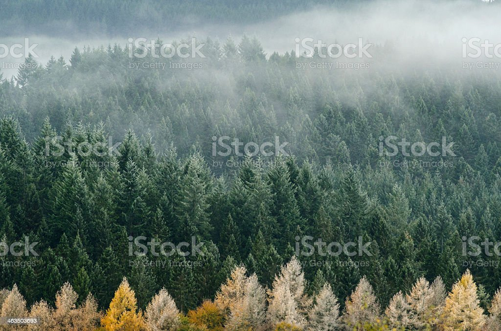 Foggy pines at the Cairngorms National Park begin to dry  royalty-free stock photo