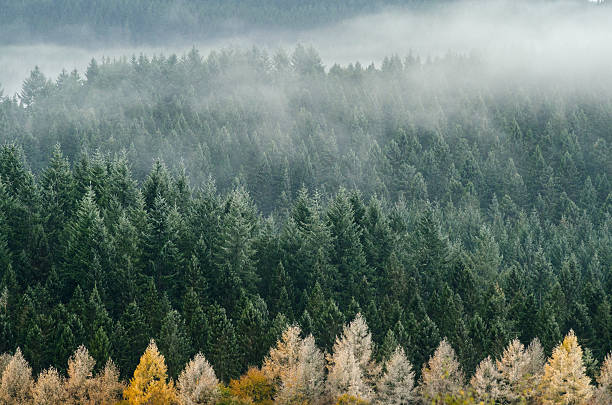 Foggy pines at the Cairngorms National Park begin to dry  stock photo