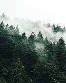 foggy tree in the forest
