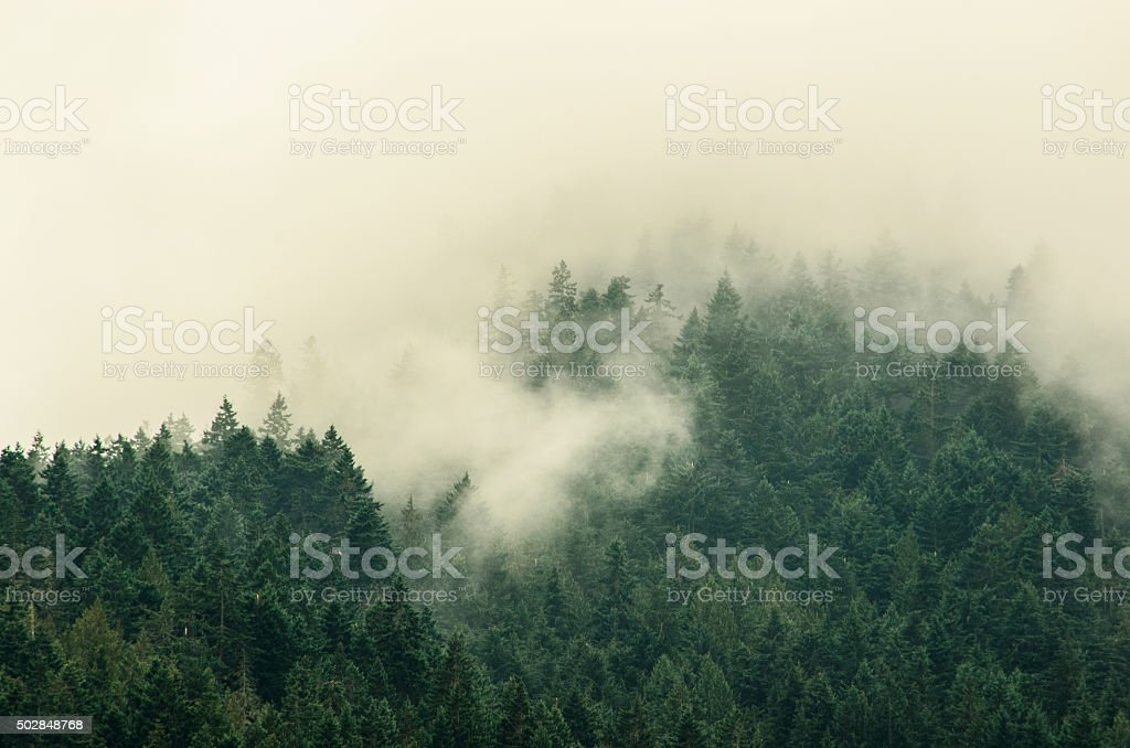 Foggy Tree Tops in Olympic National Park stock photo