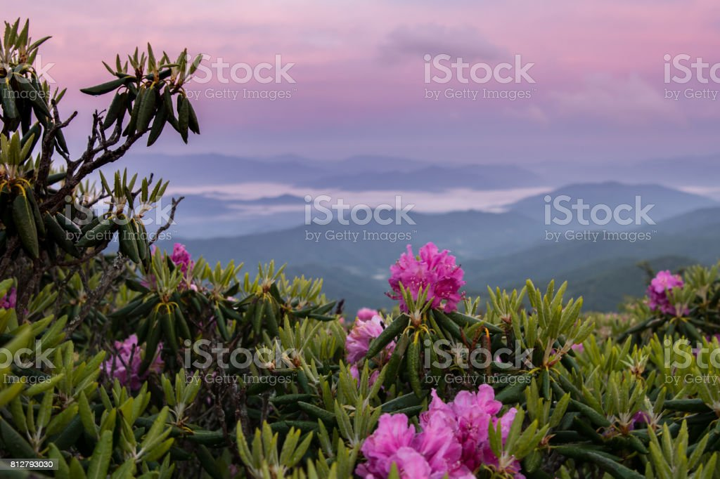 Foggy Valley and Pink Sky Behind Rhododendron stock photo