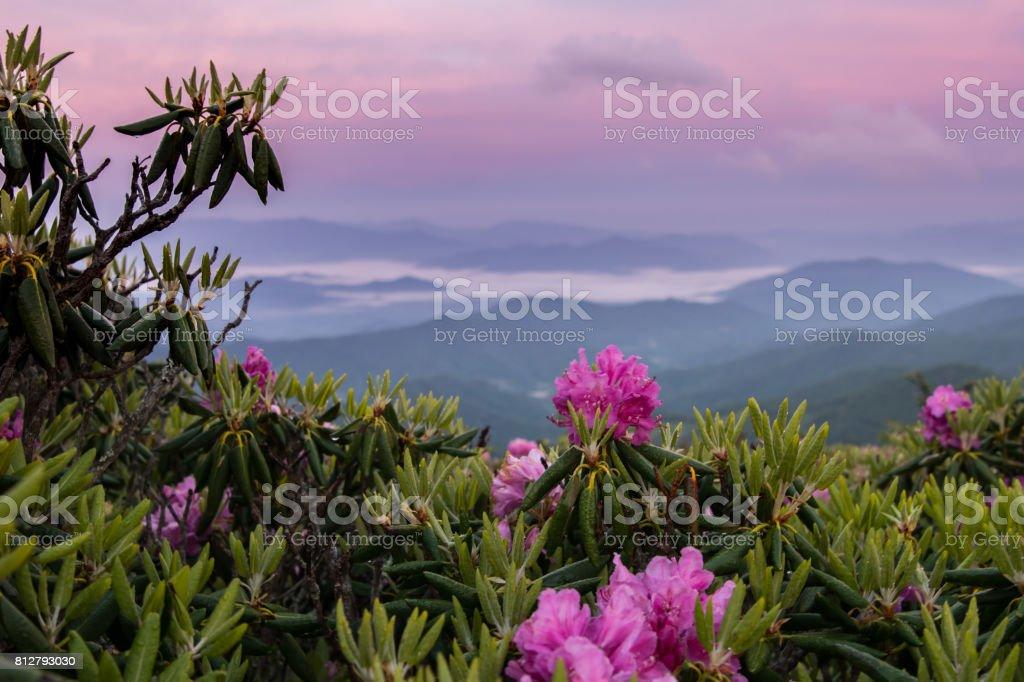 Nebliges Tal und rosa Himmel hinter Rhododendron – Foto