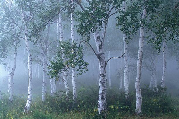 霧ホワイト樺の森 ストックフォト