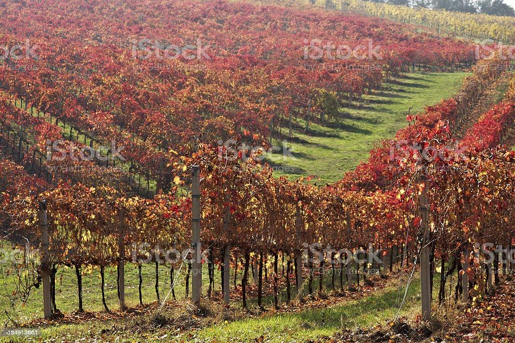 Foliage in Lambrusco vineyard. Castelvetro of Modena. Italy. stock photo