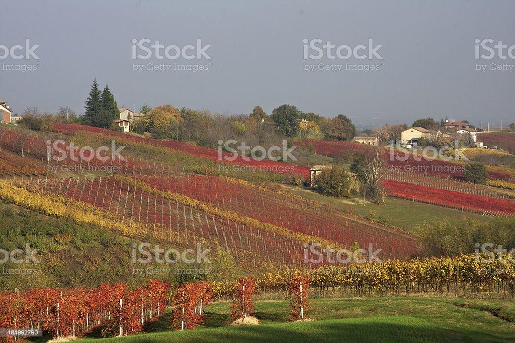 Foliage in Lambrusco vineyard. Castelvetro of Modena. Italy stock photo