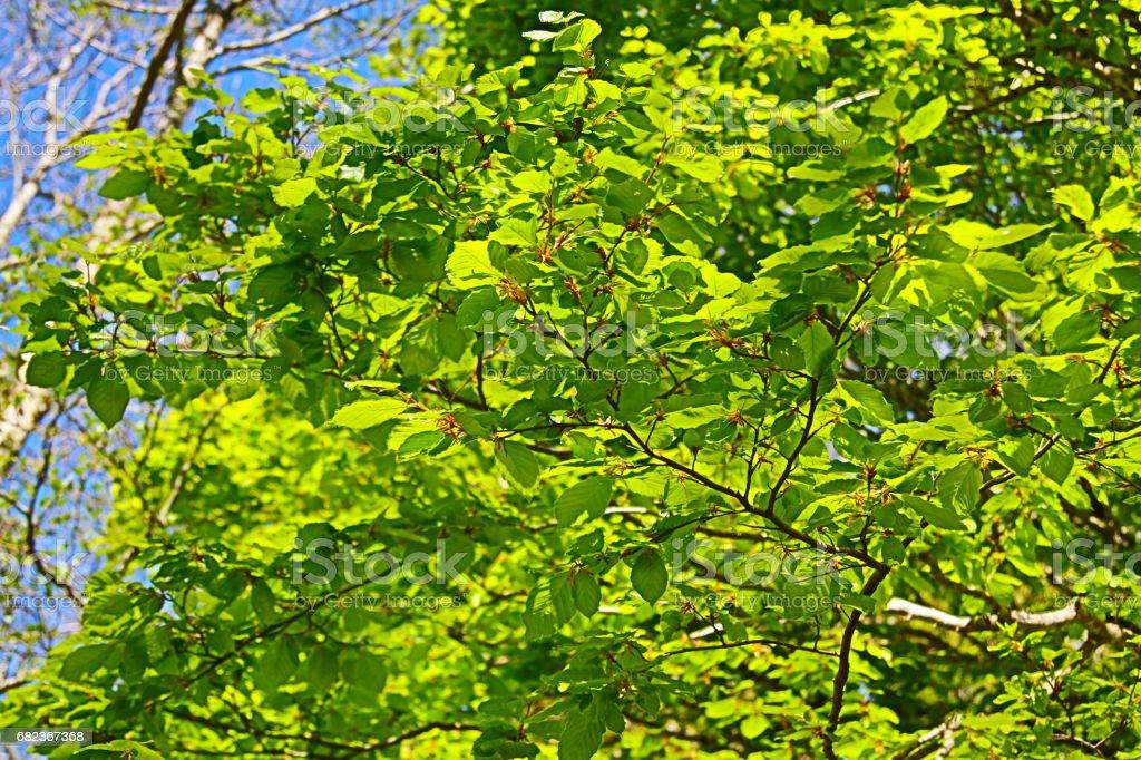Foliage of beech tree in spring royaltyfri bildbanksbilder