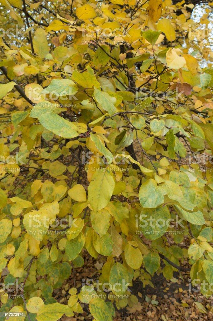 Foliage of Cydonia oblonga tree in autumn stock photo