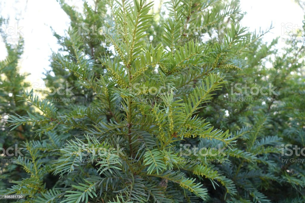 Foliage of yew with immature male cones stock photo