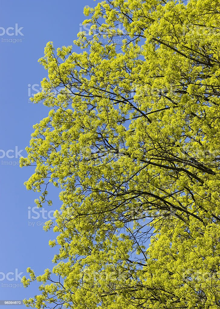 Foliage Tree royalty-free stock photo