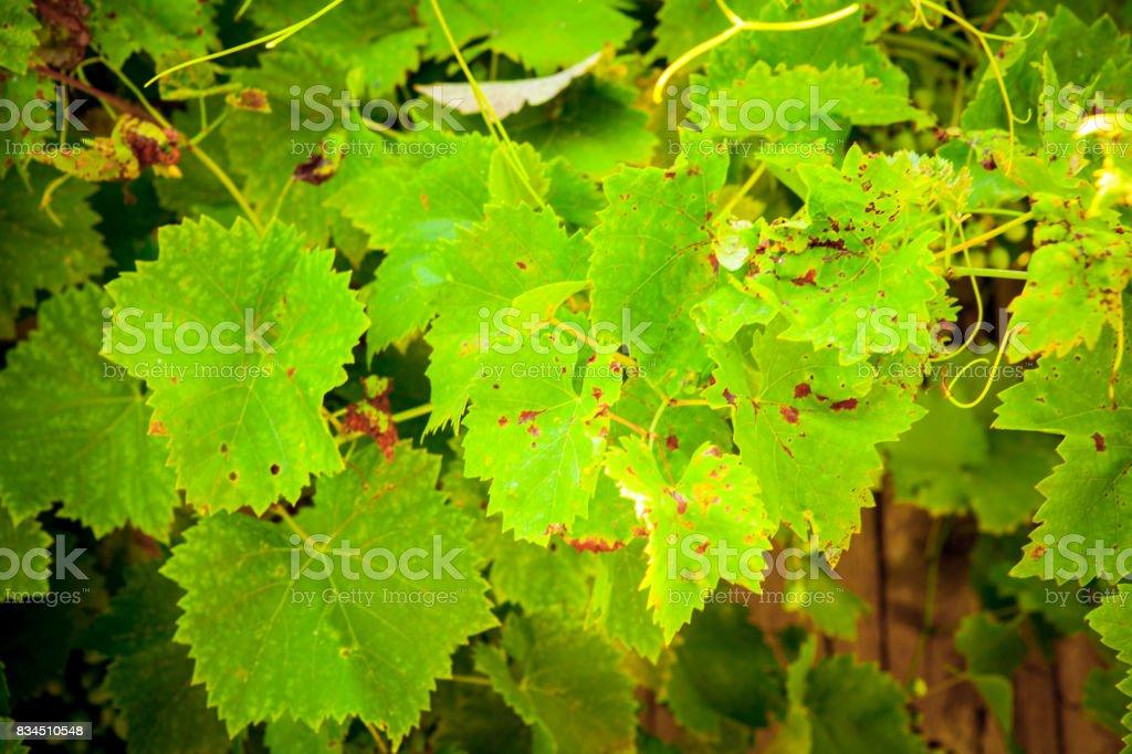 Foliage wild grapes stock photo