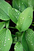 Foliage with raindrops.